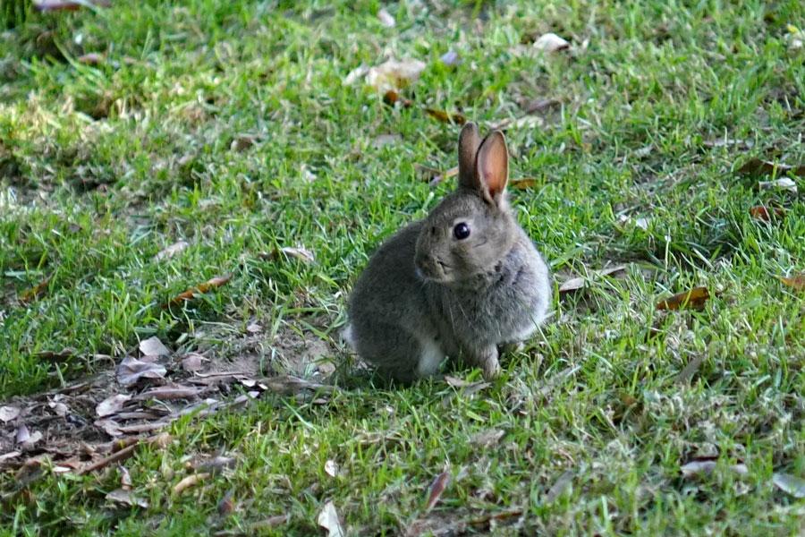 Rabbit at Surrey retirement village